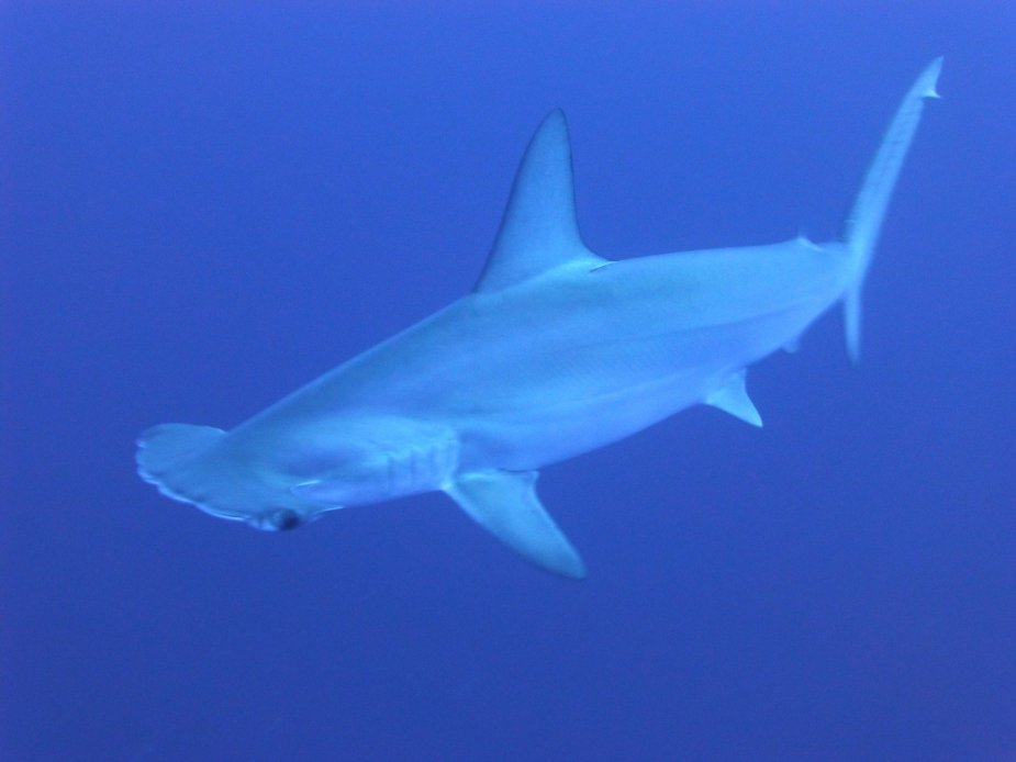 Hammerhead shark - Fun things to do in Hawaii