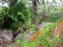Komodo dragon in the wild