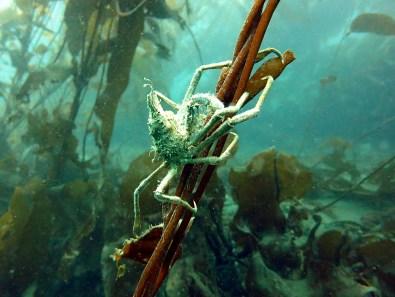 diving ushuaia beagle canal crab