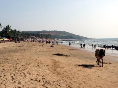 cow on anjuna beach goa