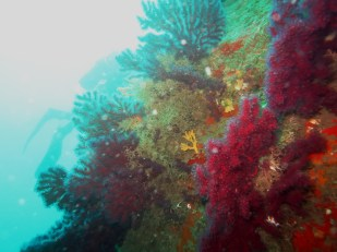 red gorgonians Procida Italy scuba diving