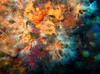 Encrusting anemone Cadaques