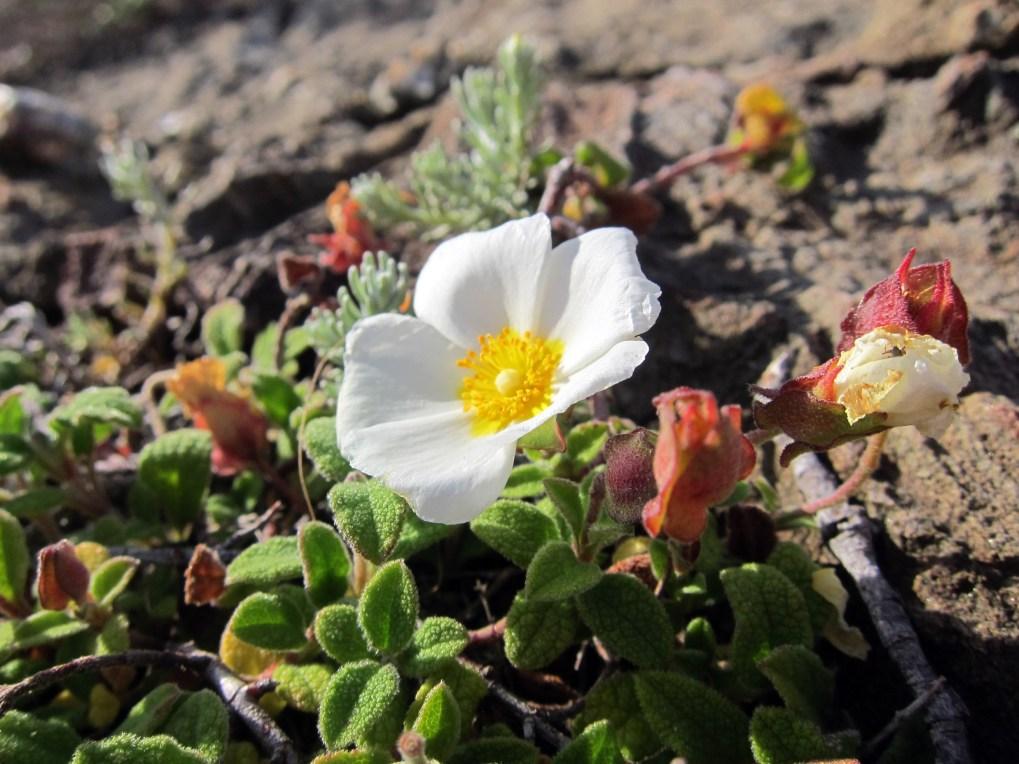 Flower Cap de Creus