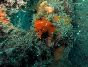 baby frogfish muck diving Dauin Negros Philippines