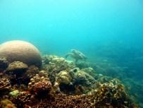 Turtle Panagsama coral reef Moalboal Cebu Philippines