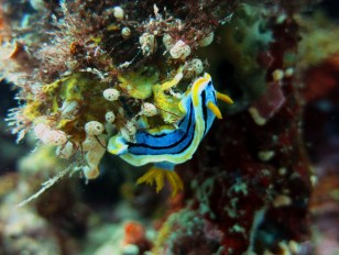 Nudibranch Balicasag Bohol Philippines