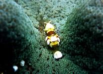 Shrimp muck diving Dauin Negros Philippines