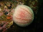 Edible urchin Oban Firth of Lorne scuba diving Scotland