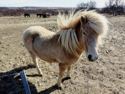 Icelandic horse Iceland Golden Circle