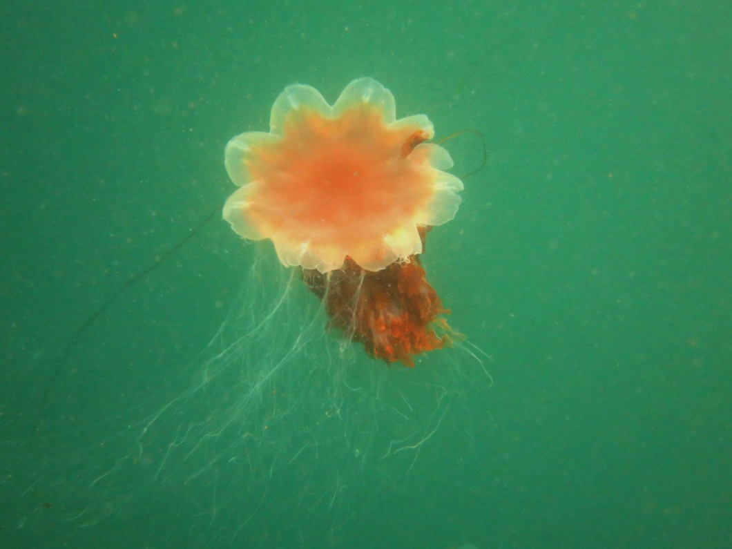 Lion's mane jellyfish scuba diving Sound of Mull Scotland