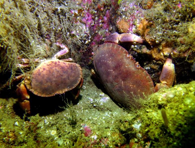 Edible crab scuba diving Sound of Mull Scotland