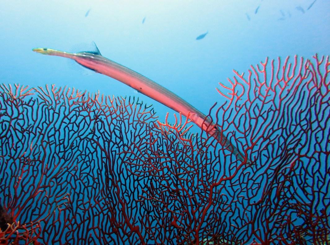 trumpet fish scuba diving Tulamben Bali Indonesia