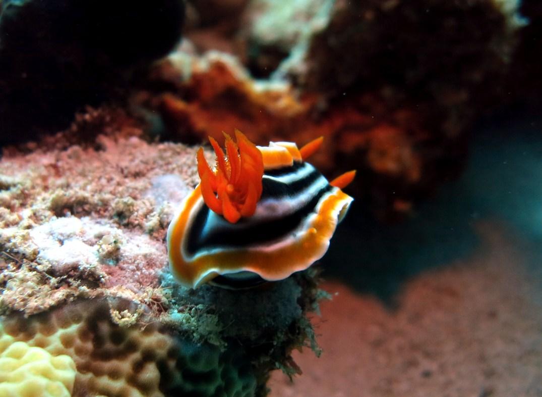 Nudibranch scuba diving Menjangan Island Bali Indonesia