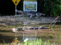 Alligator Farm Everglades Florida