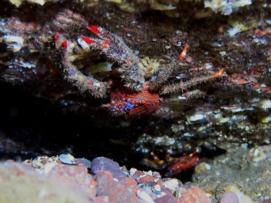 Spiny squat lobster Scuba diving St. Abbs Scotland UK