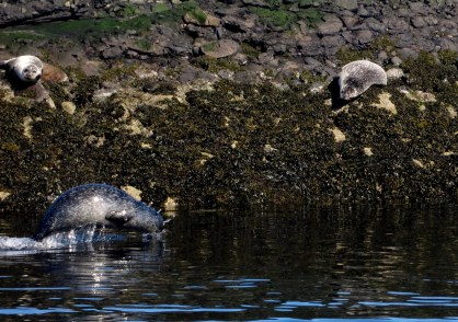 Grey seals Oban Scotland