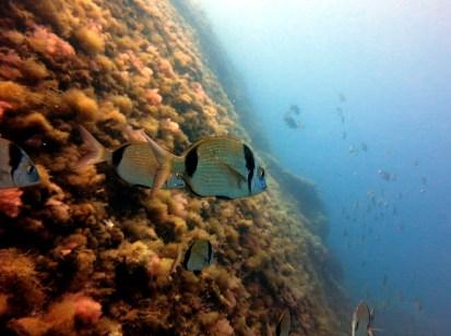 Sar / Two banded bream Scuba diving Portofino Italy