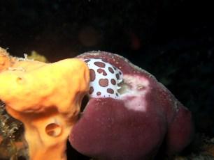 Doris nudibranch Scuba diving Portofino Italy