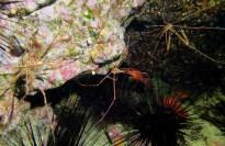 Arrow crabs scuba diving Tenerife Canary Islands