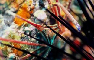 Arrow crab scuba diving Tenerife Canary Islands