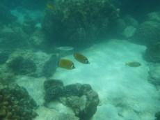 Blackcap butteflyfish and virgate rabbitfish