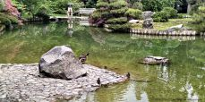 Enjoyed watching this family of ducks play in the pond at the Japanese garden.