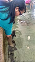 Touching leopard sharks-- their skin is rough!