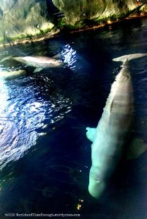 Top view of beluga whales; they could also be viewed underwater near the Polar Play Zone.