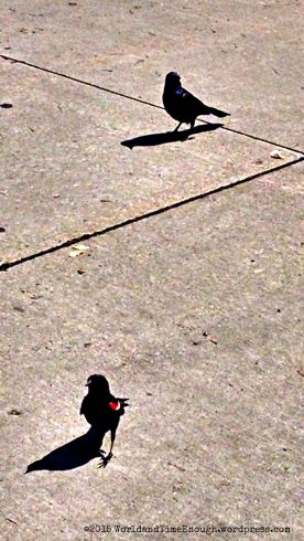 Red-winged blackbird and Brewer's blackbird amused us while we waited in line at Shedd Aquarium.