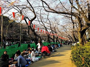 A pedestrian path lined with groups of people picnicking under cherry blossom trees.