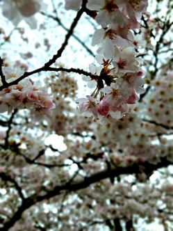 Cherry blossoms are more commonly white with pale pink centers.