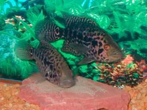 parachromis-managuensi