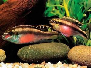 pelvicachromis -pulcher