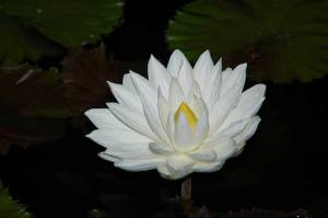 Nymphaea_lotus_F