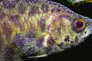 ichthyophthirius