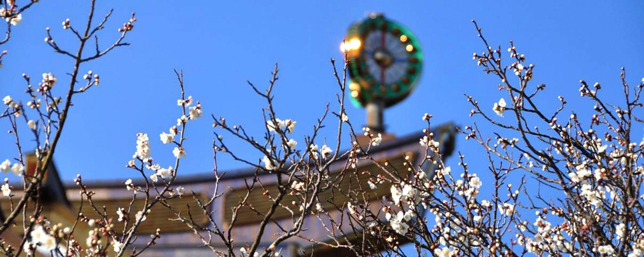 Suza Main Shrine and Cherry Blossom