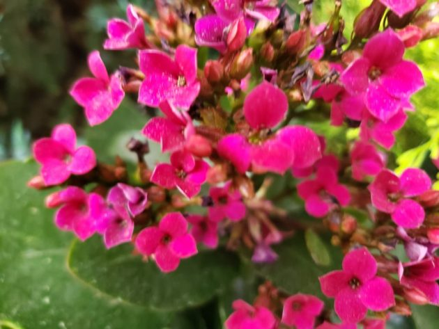 Hot pink impatient flowers