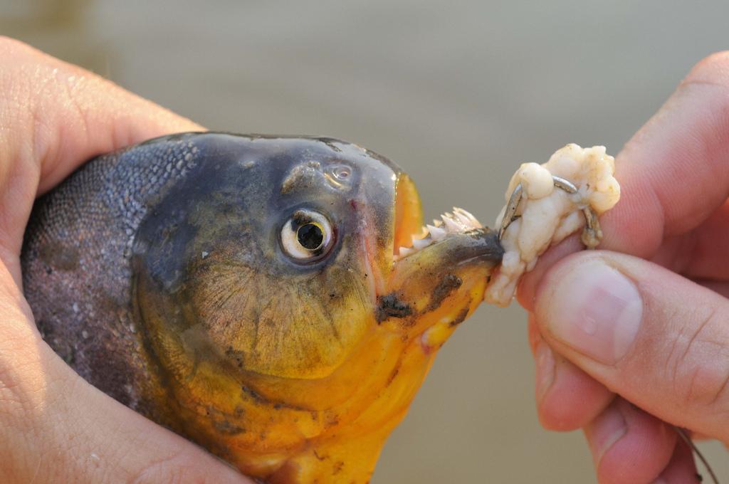 Piranha by MM.jpg