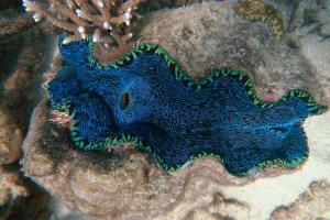 Australia clam.