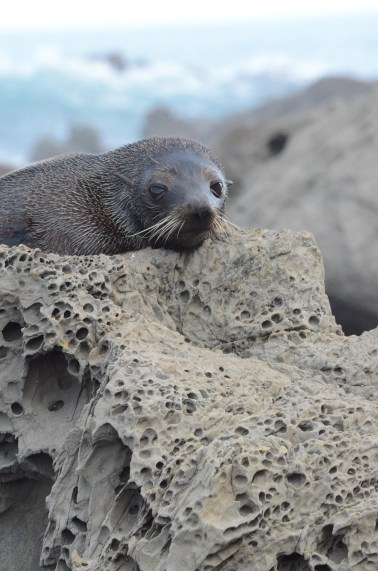 Photo of Seal at Ohau Point, Kaikoura, NZ. Photo by Ann-Marie Cahill