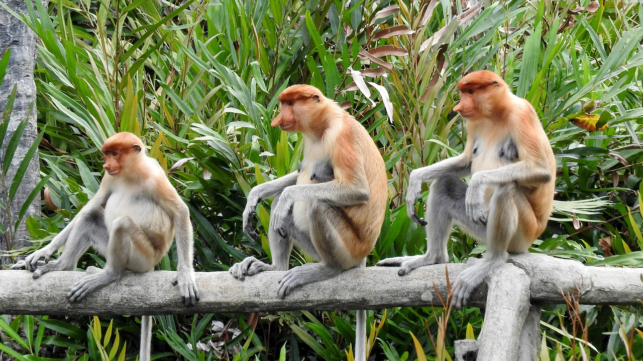 The proboscis monkey or long-nosed monkey, is a reddish-brown arboreal Old World monkey. It is endemic to Borneo.