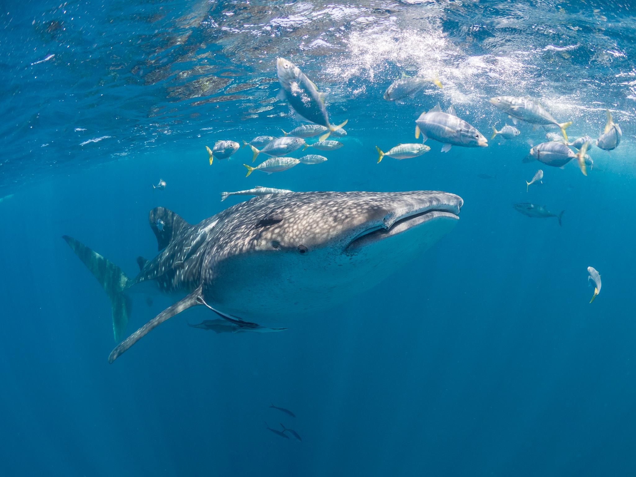 Whale share surrounded by a school of fish. Photo: Simon J. Pierce at www.simonjpierce.com