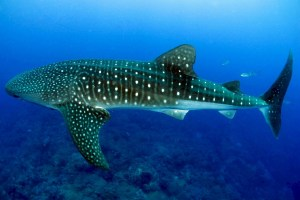Diving with a Whale shark