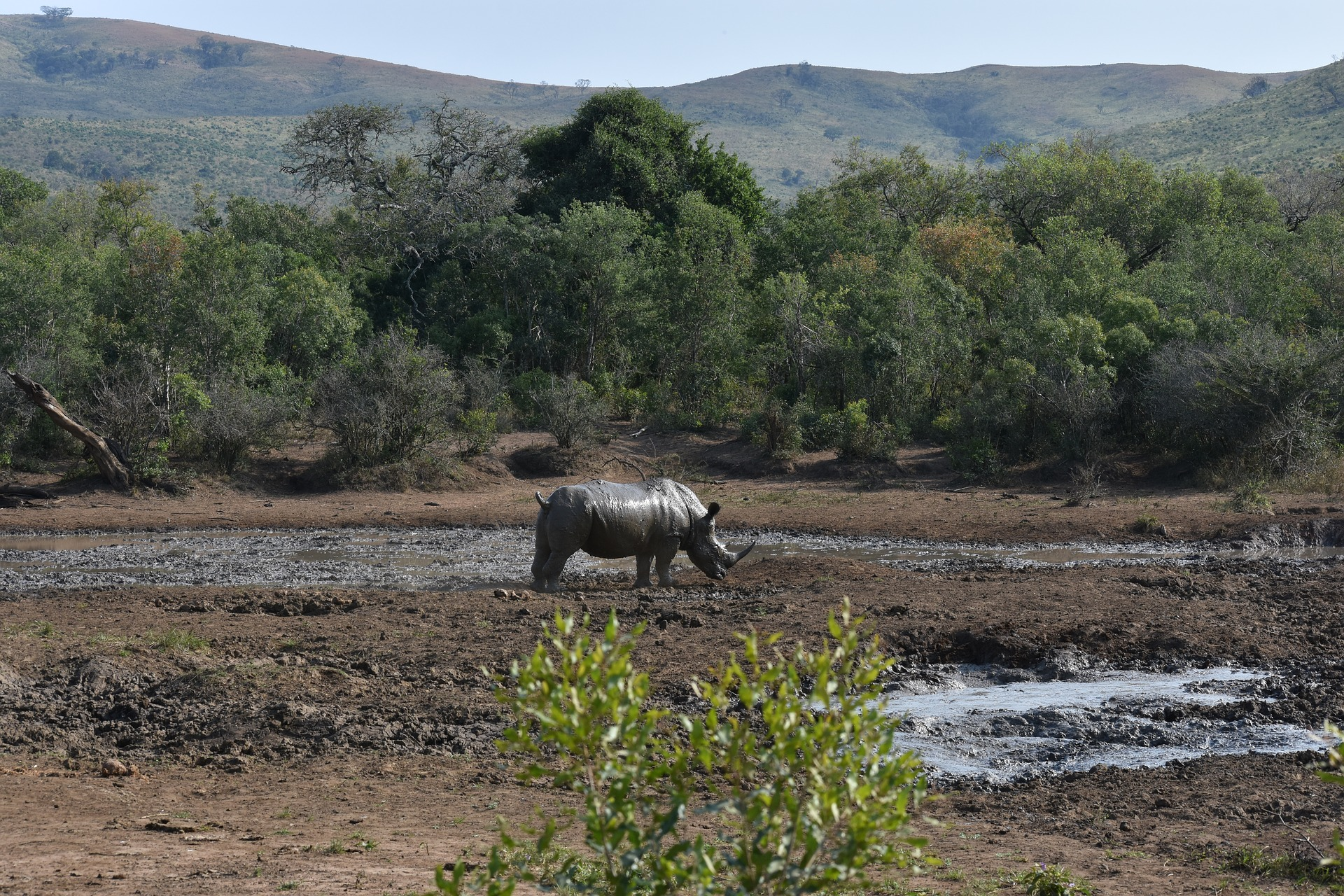 Black Rhino along a bank