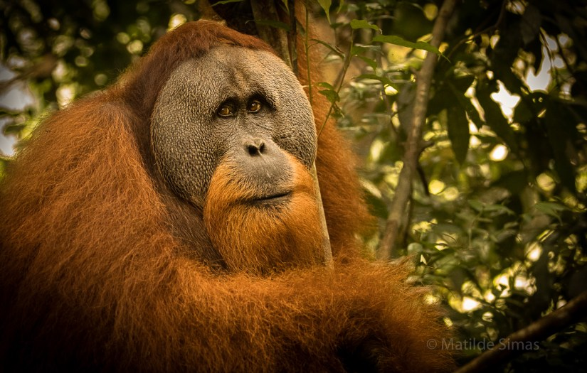 Adult male orangutan photo by Matilde Simas