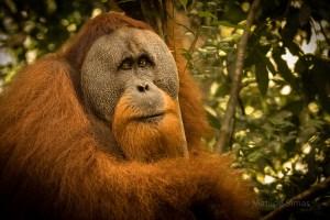 Adult male orangutan photo by Matilde Simas