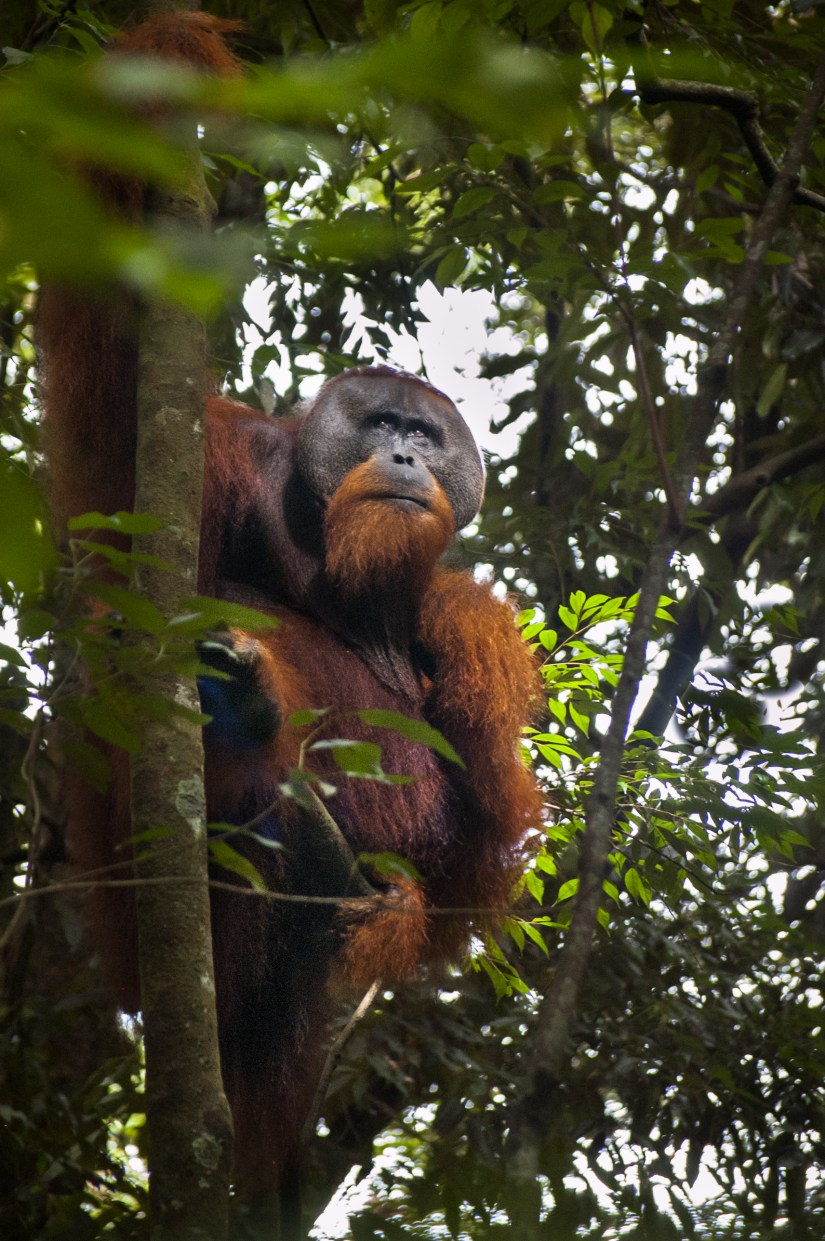 Adult male Sumatran orangutan in Gunung Leuser National Park. Photo: Jessica Barrett