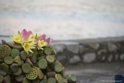 Fleurs de lotus