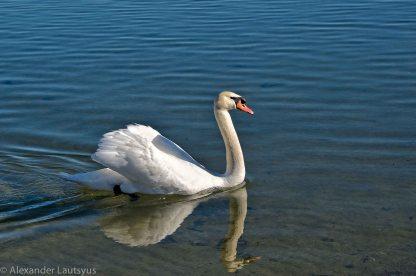 Лебедь спешит на свидание