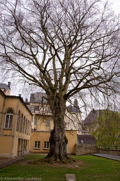 Одно из старейших деревьев Люксембурга